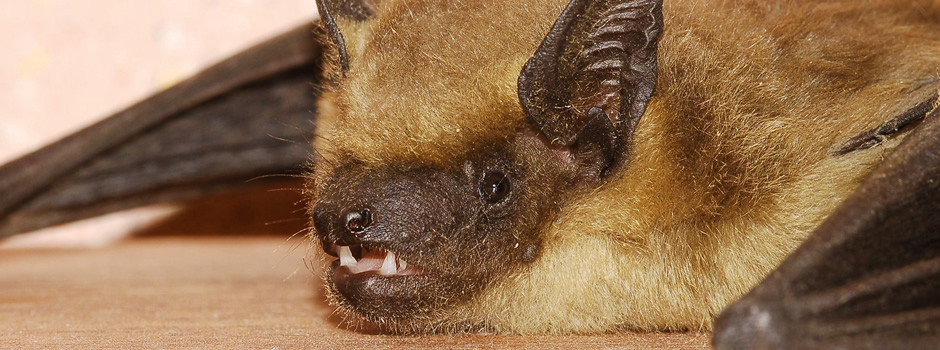 Goodlettsville Bat removal control