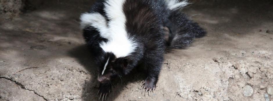 Goodlettsville Skunk Removal